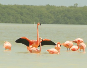 Flamingos on the Celestun boat trip
