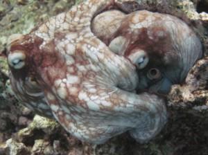 Underwater photo of octopi