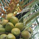 #coconuts #CostaMaya #Xcalak