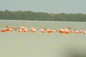 near Gulf of Mexico, Flamingos at Celestun