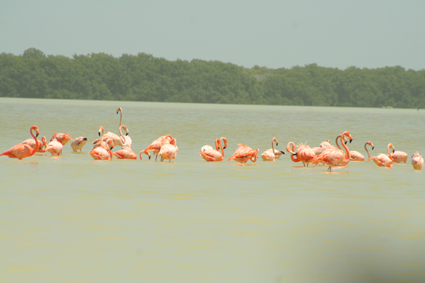 near Gulf of Mexico, Flamingos at Celestun