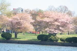 #CherryBlossomCruise