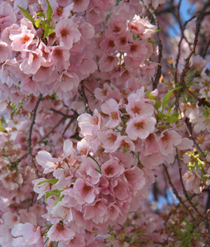 #CherryBlossomCloseup #DCCherryBlossoms