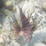 Lionfish off coast of Belize