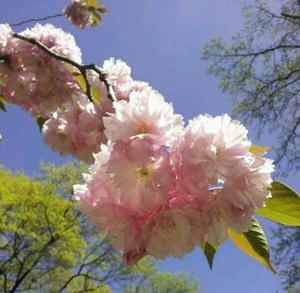 #CherryBlossomDC
