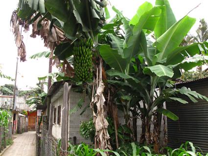 #bananatreeGuatemala