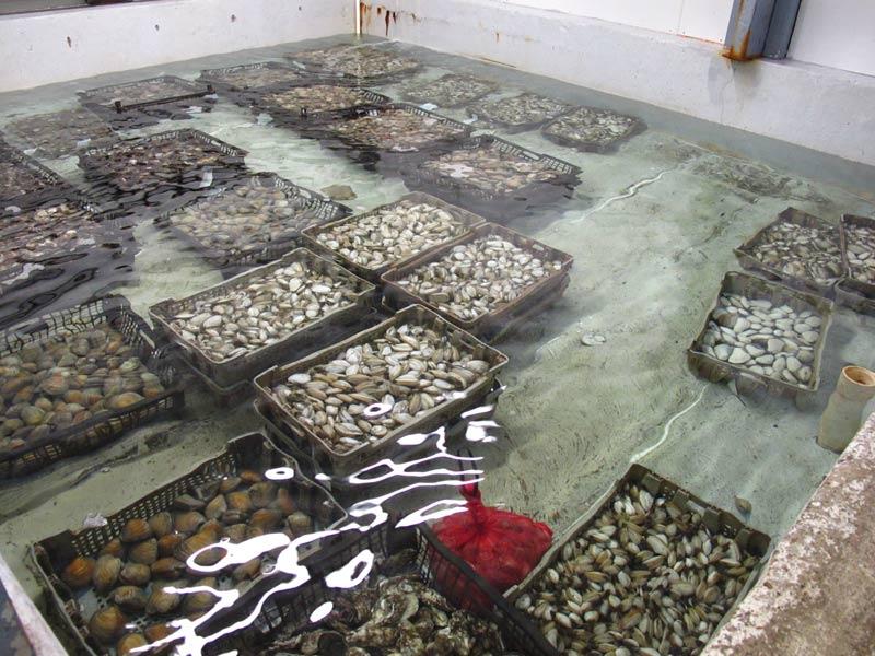 Saltwater tanks clear salt, silt out of shellfish