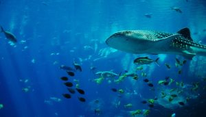 Whale Sharks, fish and blue water